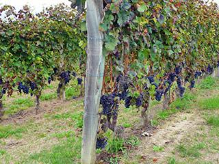 Weinanbau im Valtellina